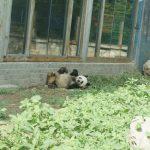 北京(4)北京動物園でパンダ鑑賞