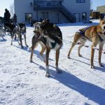 イエローナイフ(2)犬ぞり・オールドタウン散策&オーロラ鑑賞