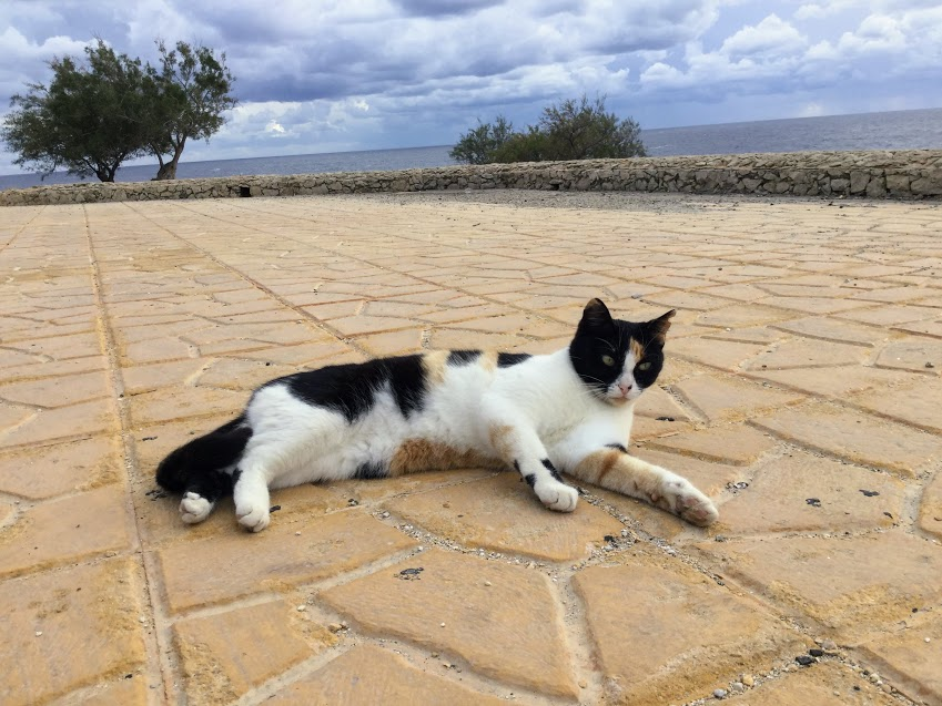 マルタ青の洞門近くの猫
