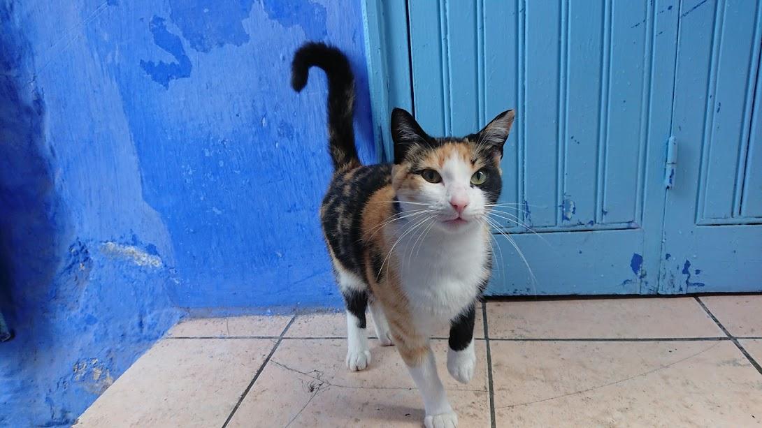 シャウエン 猫